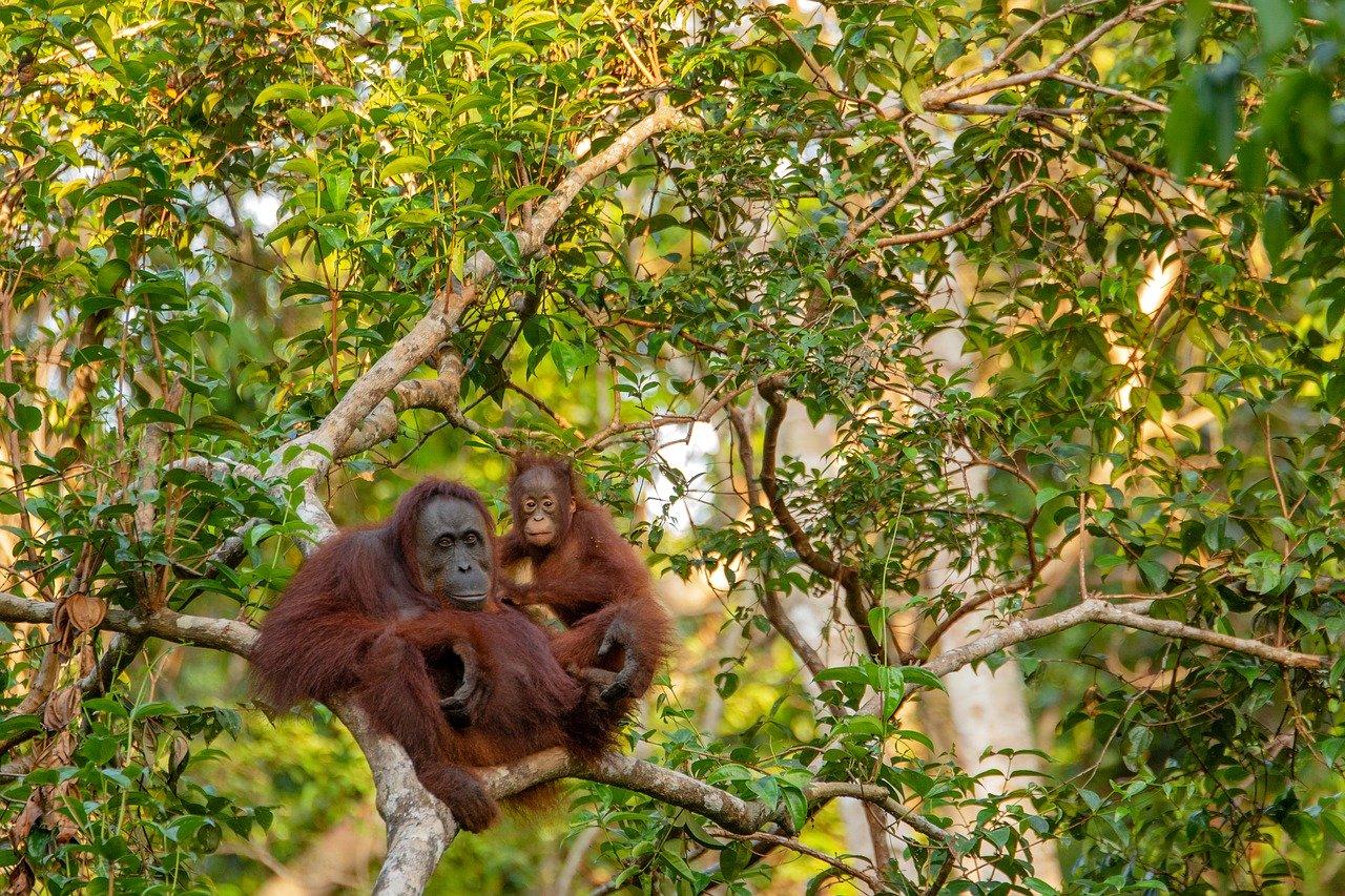 Orang outan, famille dans les arbres