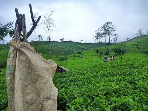 Champs de thé écologique au Sri Lanka