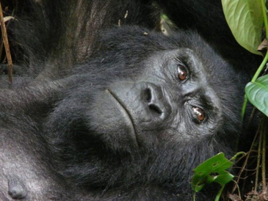 Gorille en Ouganda impacté par la culture du thé et la déforestation