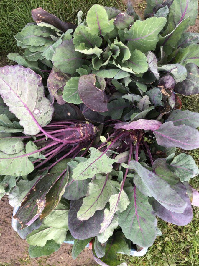 Récolte de chou rave avec les feuilles